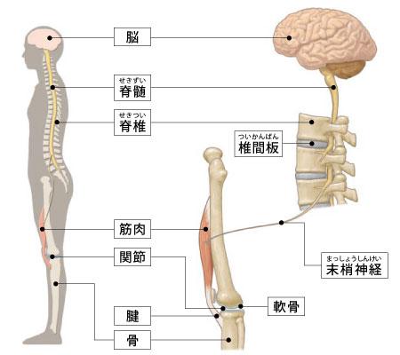 運動器の基礎知識(神経、筋肉)